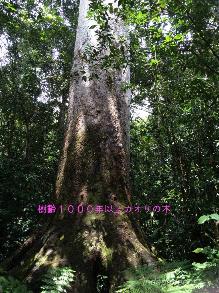 カオリの木